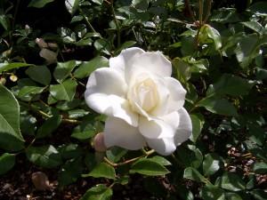 file7111268216518 Camellia White