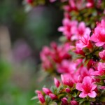 shutterstock_138984899 Azalea pink prudence