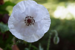 IMG_9955 White Poppy