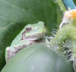 frog on a cucumber
