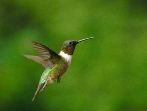 Hummingbird DSCN0347