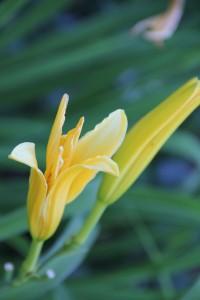 daylily white bud