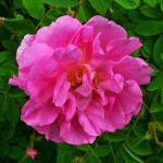 Our Lady of Guadalupe's Damask Rose