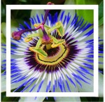 Passion Flower and the Stations of the Cross
