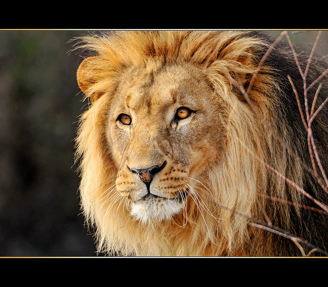 Not Cecil, but a good-lookin' fella. Photo Source: Flickr Creative Commons by   Tambako the Jaguar https://www.flickr.com/photos/tambako/