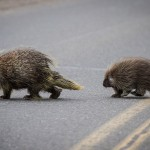 Two porcupines cross a road