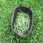 Green Beans. Cat Chapin-Bishop, 2014.