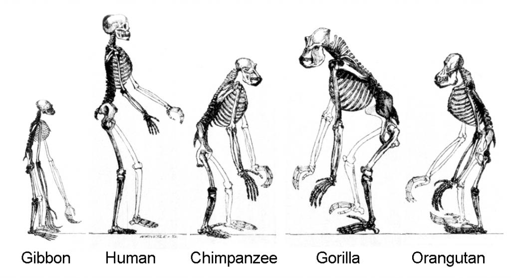 evolution apes