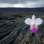 flowers-in-lava