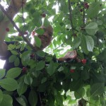 Cherry-Picking from the Bible: Lessons Learned from Actually Picking Cherries
