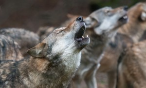 Howling Wolf -Canis lupus-, captive, North Hesse, Hesse, Germany