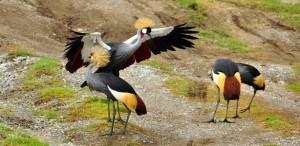 Gray Cranes