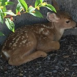 William Rowe's Fawn