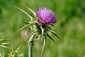 Thistle, emblem of Scotland