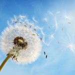 Dandelion seeds in the morning sunlight blowing away in the wind across a clear blue sky