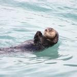 Otter in Alaska, photo by S Chucke (public domain). Pixabay.