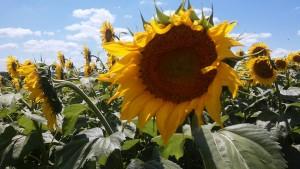 one sunflower 2016