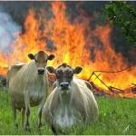 calves fire