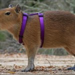 Of Catholics and capybaras