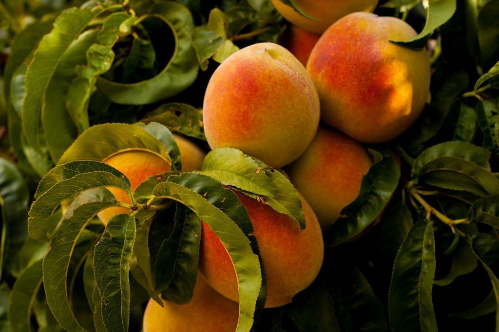 Peaches for fermentation at Lammas
