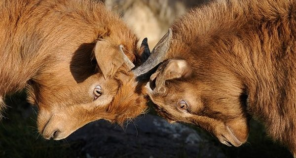 From Pixabay.com, two rams butting heads like two members of an atheist-theist debate, embroiled in Biblical pedantry.