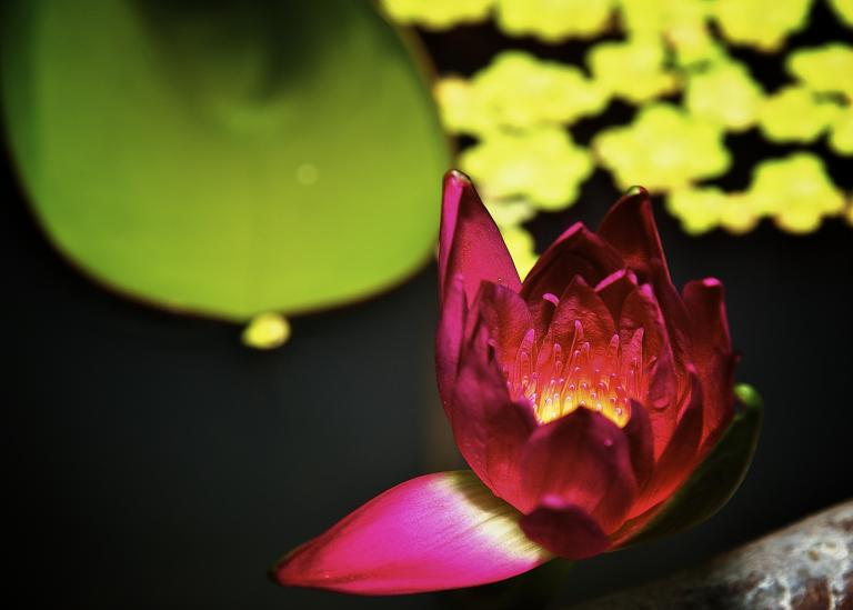 Vividly colored pink, yellow and red lotus floating on water with a green leaf in the background