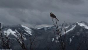 """""""Gray Jay Overlooking the Cascades,"""" © Alison Leigh Lilly"""