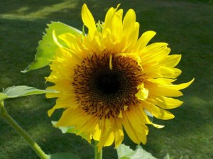 Sunflower in Allison Ehrman's Garden