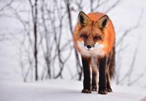 fox-710454_640