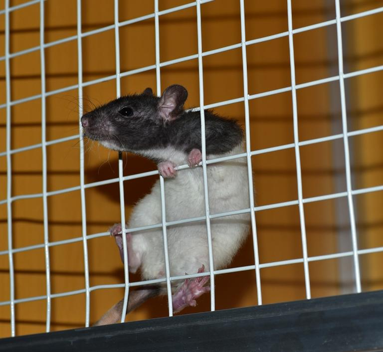 """""""A rat in a cage"""" by sipa. CC0 License."""