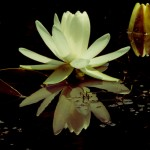 flower-reflected