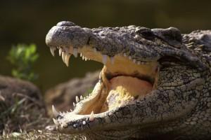 crocodileo