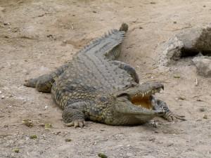Crocodylus_-_Crocodile_-_Krokodil_-_01