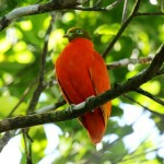 The Fruit Dove: One of Nature's Sharpest Dressers