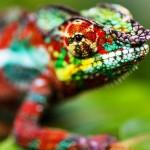 Chameleons Are Amazing