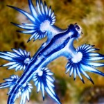"Today's Jolt Of Unexepected Beauty Brought To You By The ""Glaucus atlanticus"""