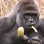 A Boy, a 450 Pound Gorilla, and a God Who Is Not In Control