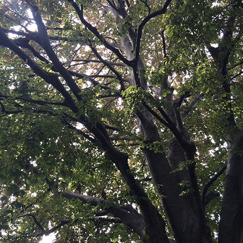 An old old tree in Providence
