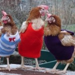 Chickens wearing sweaters…