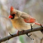 Crescat and the Female Cardinal…
