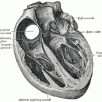 pectinate-muscles-of-heart
