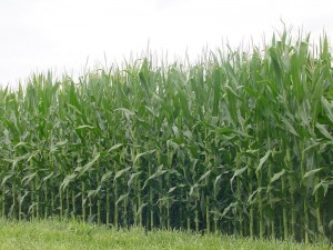 Corn_fields