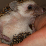 A Short Note on Hedgehogs
