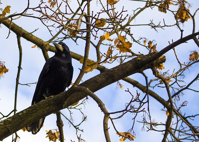 800px-Crow_on_a_branch(2)