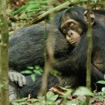 Interview: Chimpanzee Director Mark Linfield on Falling For a Little Guy Named Oscar