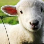lamb-451981_960_720-300x200