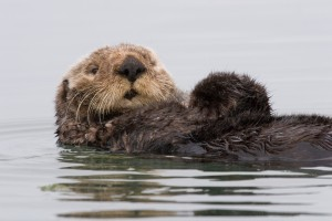 Sea Otter in Morro Bay, CA ©2007 Mike Baird, Licensed under CC BY 2.0