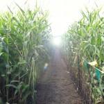 corn path