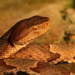 800px-Copperhead-snake-wildlife_8