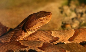 800px-Copperhead-snake-wildlife_8